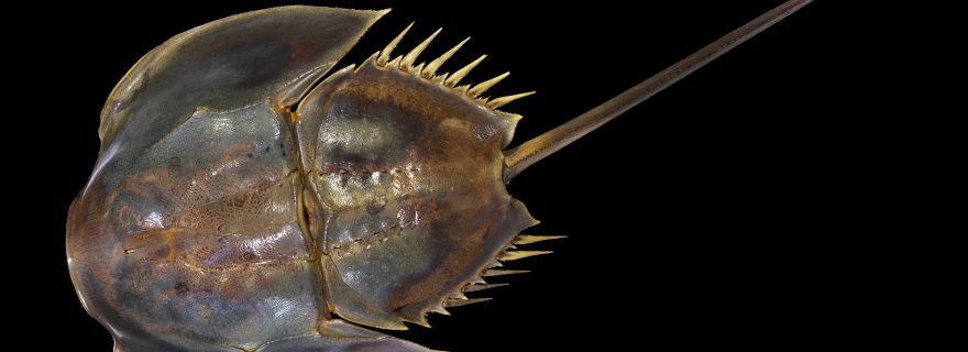 A Painter, a Collector, and a Horseshoe Crab